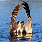 Osprey 413 by John Van-Den-Broeke