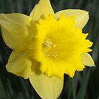 Daffodil by redown