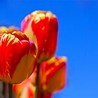 Tulips by Michael  Corwin