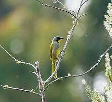 Yellow throated honey eater by Ron Co