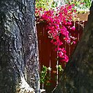 Bougainvillea by Chet  King