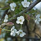 Pear Blossoms 3 by Brenda  Meeks