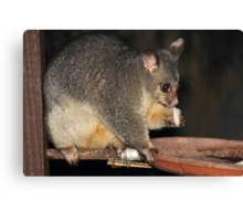 Young Female Brushtail Possum Eating Canvas Print