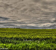 Fields of gold by Erika Price
