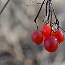 R3 - wintered berries by Tamgail