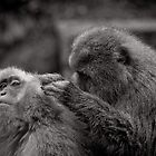 Five more fleas...err, I mean minutes! Snow Monkeys by Norman Repacholi