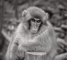 Bartender! Another drink please.  Snow Monkeys by Norman Repacholi