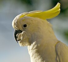 Australian Sulphur Crested Cockatoo #3. by johnrf