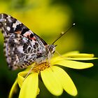 The Painted lady and the Daisy by Saija  Lehtonen