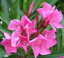 Pink Oleander Bouquet Closeup by taiche