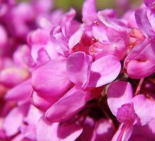 The Judas Tree(Redbud) by WildestArt