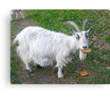 Hungry goat Canvas Print