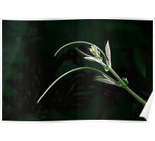 Clematis Tendril Poster