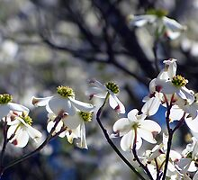 Dogwoods IV by Scott Mitchell
