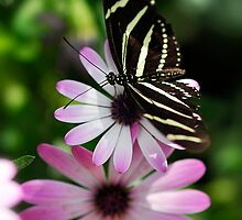 Zebra Longwing on a Daisy  by Saija  Lehtonen
