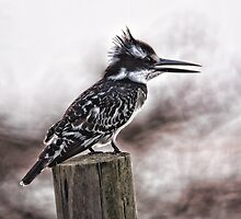 Pied Kingfisher 2   (Ceryle rudis) by Warren. A. Williams