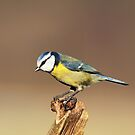 Blue tit by Grant Glendinning