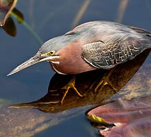 STOCK ~ Green Heron #2 by akaurora