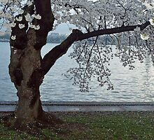 Cherry Blossoms, Washington D.C. - Old Jap. Cherry Tree by Bine