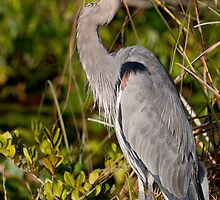 STOCK ~ Great Blue Heron #3 by Rick & Deb Larson
