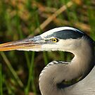 STOCK ~ Great Blue Heron #4 (Head shot) by Rick & Deb Larson