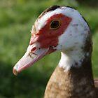 muscovy duck - shy smile by monkeyferret