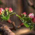 Early Spring Apple Blossom by Merja Waters
