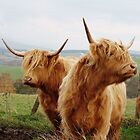 @SCOTTISH COWS by marick