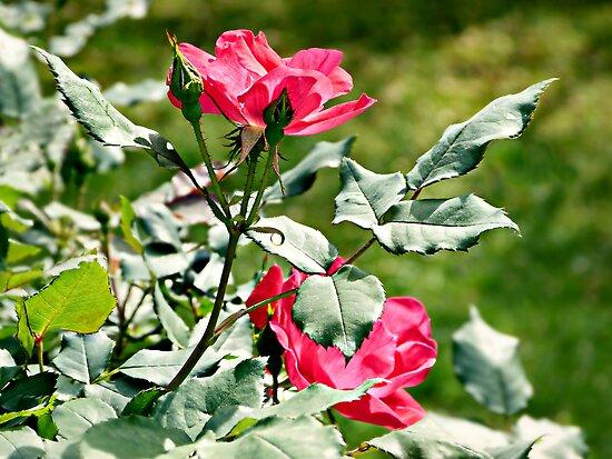 Cherry Red Primrose by Scott Mitchell