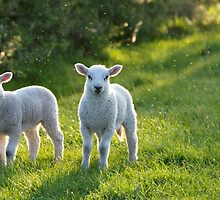 Lambs In Evening Light by tranquillian