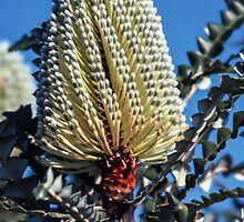 Green Banksia 30 K out of Esperance Western Australia 1982 09010045  by Fred Mitchell