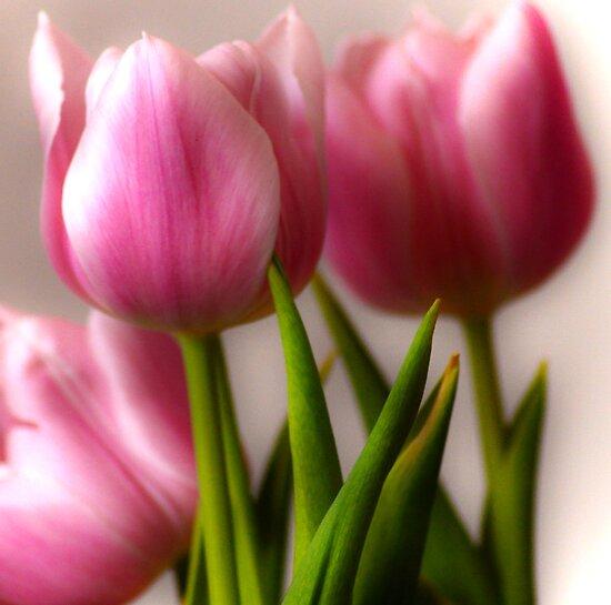 Pink Tulips by Ljartdesigns