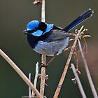 Superb Fairy Wren by Bill  Robinson