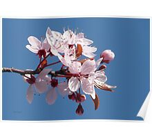 Cherry Blossom Against A Blue Sky Poster
