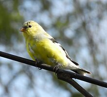 Gold Finch by Heather Crough