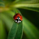 Mr Ladybird walking in my garden by Matt Sillence