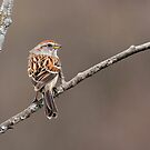 American Tree Sparrow by Bill McMullen