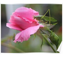 Rosebud With Grasshopper - Bedford Hills NY- 9-20-11 Poster