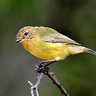 Yellow Thornbill taken Capertee Valley in NSW by Alwyn Simple
