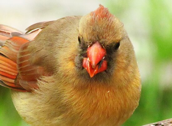 Cardinal In The Round by lorilee