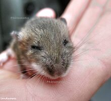 Tiny gray mouse held in a hand by Erykah36