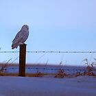 Snowy Owl by JamesA1