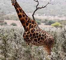Rothschild giraffe by Karue