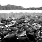 Lillies - Lennox Head by Daniel Rankmore