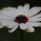 A Daisy A Day by Keith G. Hawley