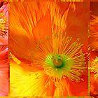 Springtime Poppies... by LindaR