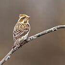 The Better Half - Purple Finch (female) by Bill McMullen