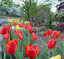 Park Tulips by Carolyn  Fletcher