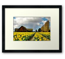 The Old Barn - Daffodil Fields 2 Framed Print