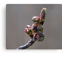 Cherry Blossom #1 Canvas Print